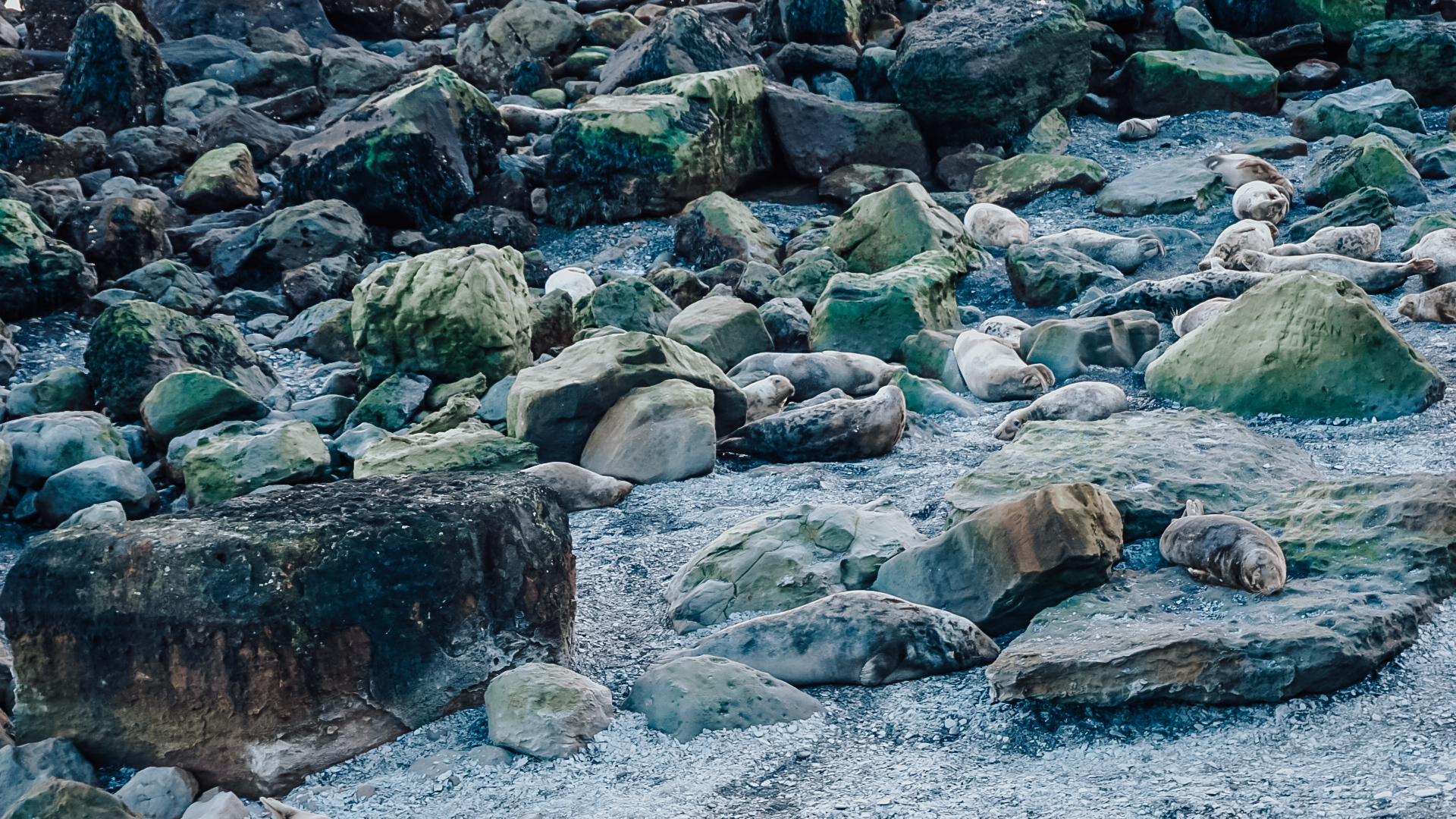 Ravenscar Seal Colony